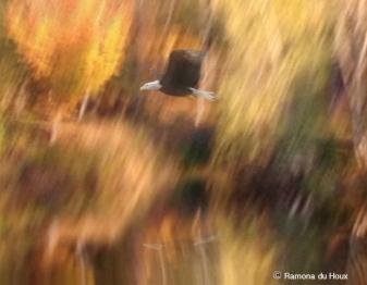 Kennebec Eagle